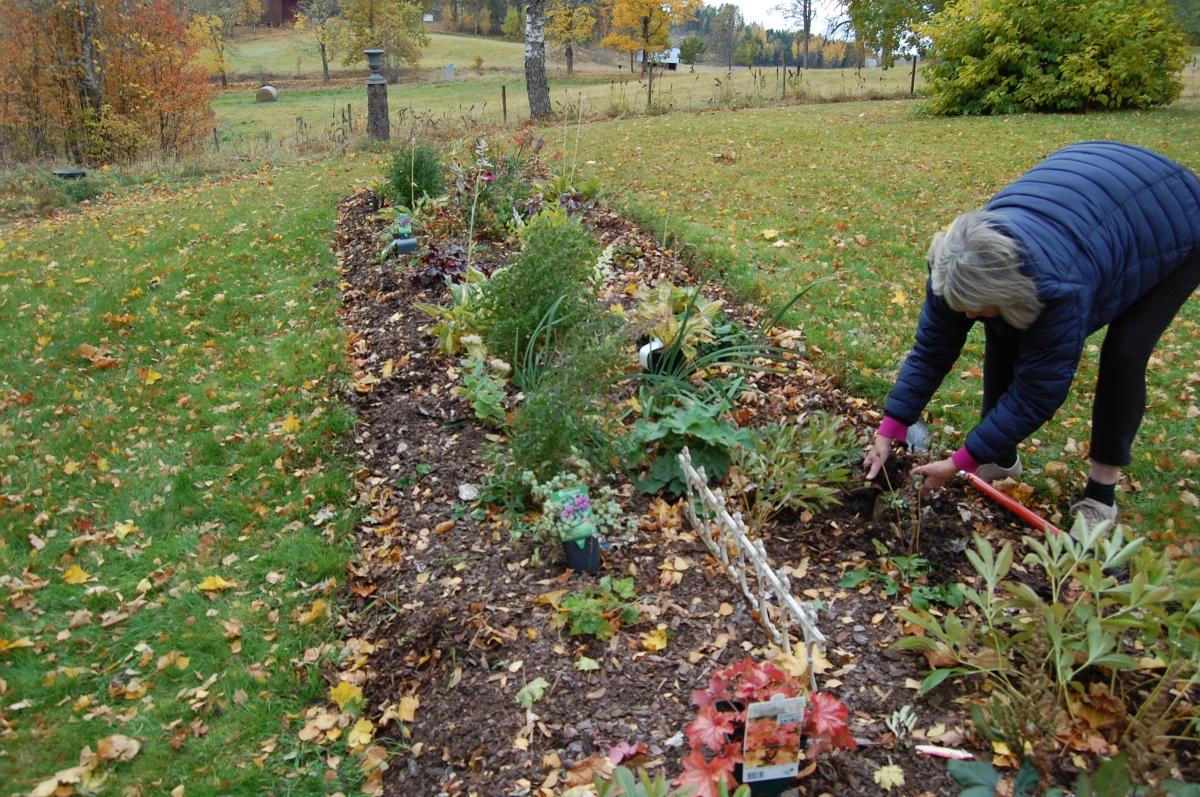 Gjør hagen flott med billige stauder