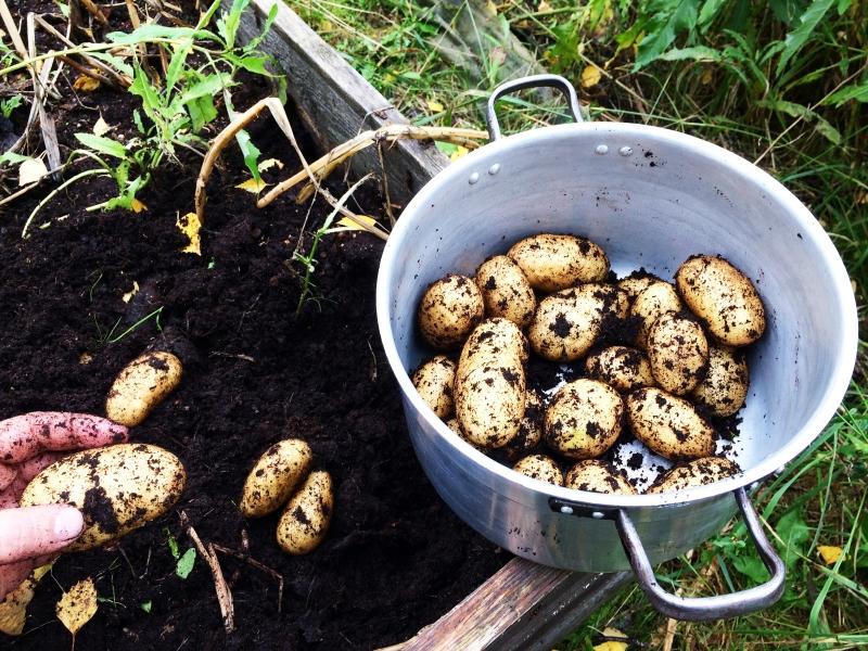 høst poteter